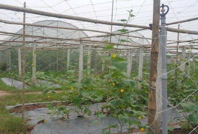 làm giàu từ mô hình trồng rau sạch
